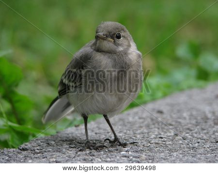 Young wagtail on path