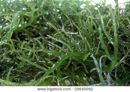 Details Of Fresh Green Seaweed