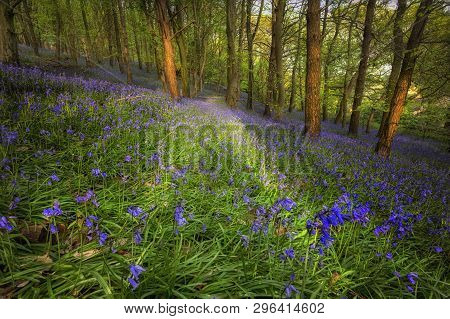 British Bluebells In Ten Acre Wood Near Margam County Park, In Port Talbot, South Wales, Uk