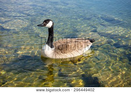 An image of canadian goose at Tutzing Starnberg lake Germany