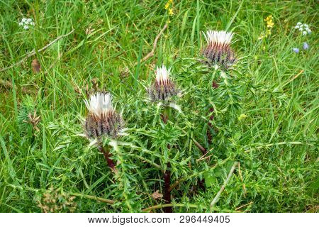An image of a silver thistle in nature