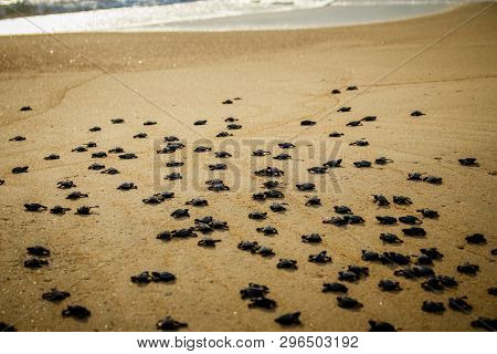 Baby Hatchling Sea Turtles Struggle For Survival As They Scamper To The Ocean In Cabo Pulmo National