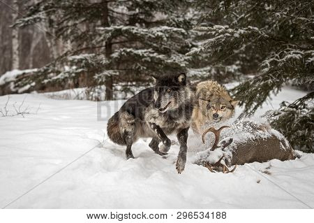 Black Phase Grey Wolf (canis Lupus) Jumps Away From Carcass Winter - Captive Animals