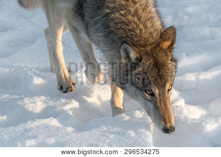 Grey Wolf (canis Lupus) Walks Forward Winter - Captive Animal