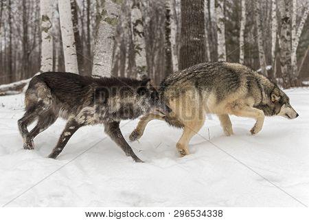 Two Grey Wolves (canis Lupus) Slulk Right Winter - Captive Animals