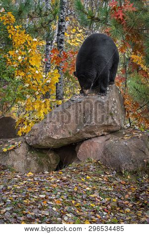 Black Bear (ursus Americanus) Nose Down Atop Rock Autumn - Captive Animal