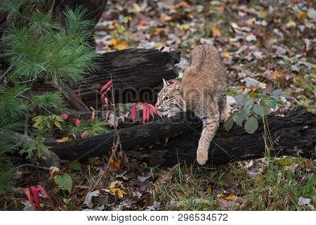 Bobcat (lynx Rufus) Draped Over Log Autumn - Captive Animal