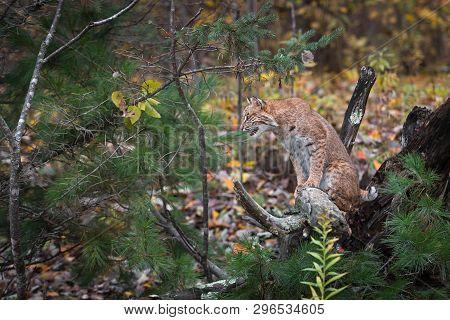 Bobcat (lynx Rufus) Sits On Root Bundle Looking Left Autumn - Captive Animal