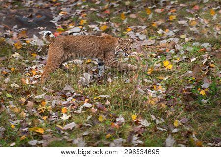 Bobcat (lynx Rufus) Stalks Right Autumn - Captive Animal