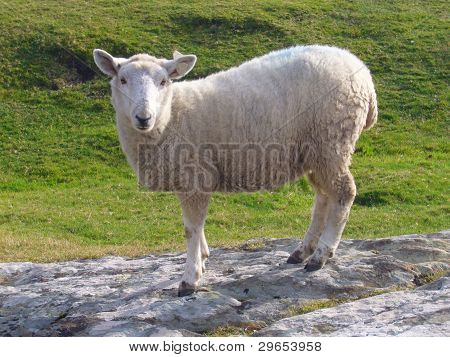 Sheep in Irish Countryside