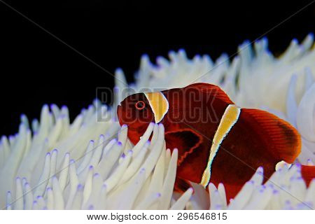 Red Goldenflake maroon Clownfish in relationship with white Sabae Anemone poster
