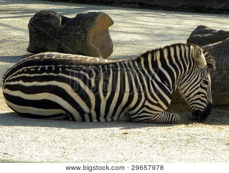 Relaxing Zebra
