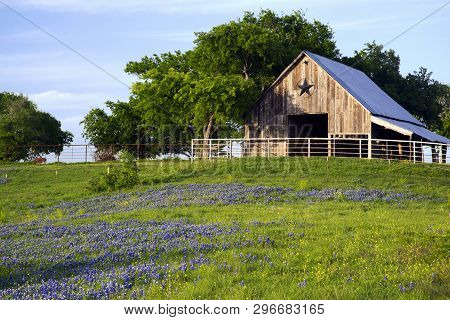 A Texas Barn In A Meadow Of Bluebonnets
