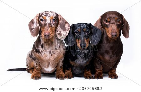 Dachshund dogs,  three dogs of different colors