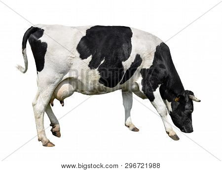 Cow Full Length Isolated On White. Black And White Cow, Standing Full-length In Front Of White Backg