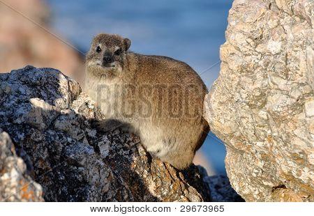 African Rock Hyrax