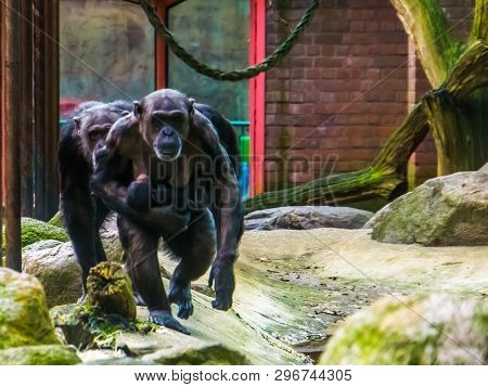 Family of chimpanzees walking towards the camera, mother holding her baby, monkeys with alopecia areata poster