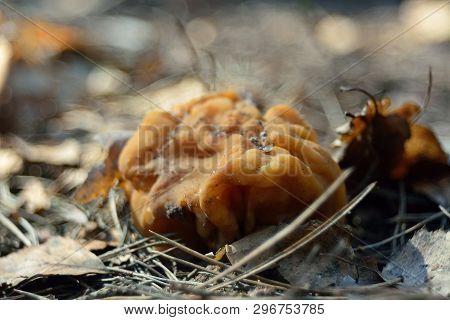 spring forest mushrooms (Gyromitra gigas), the first spring mushroom poster
