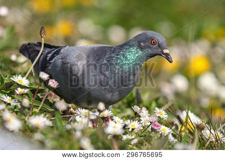 A feral pigeon with bright green iridescent on the neck standing among daisies and dandelions poster