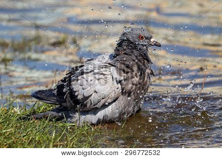 A feral pigeon in a cascade of water droplets as it bathes poster