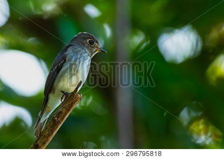 Bird Of Dark-sided Flycatcher With Bokeh Background