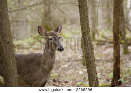 A White-Tailed Deer pauses between trees in the Great Smoky Mountains National Park. poster