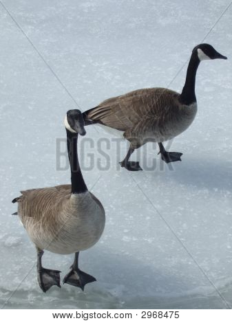Canada Geese walking across an icy lake. poster