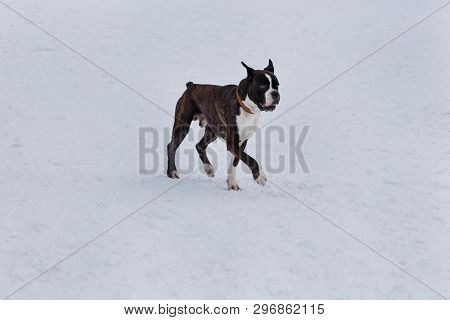 Cute brindle boxer with white markings is walking on a white snow. Pet animals. poster