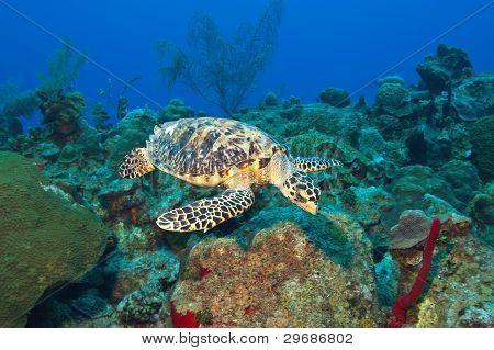 Cayman's Turtle