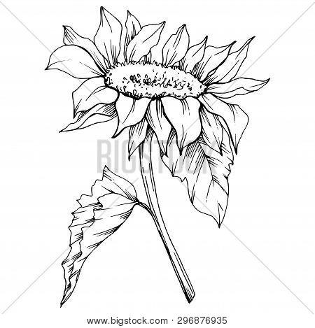 Vector Sunflower Floral Botanical Flower. Black And White Engraved Ink Art. Isolated Sunflower Illus