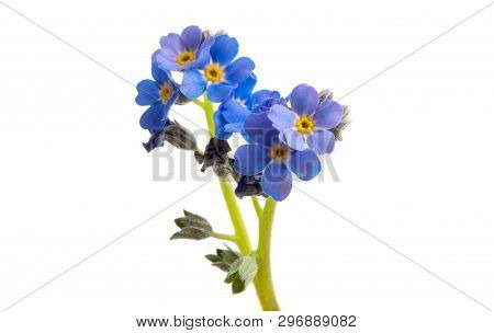 Forget-me-not Beautiful Flower Isolated On White Background