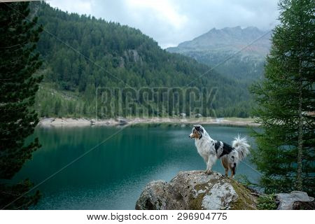 Australian Shepherd In Nature By The Lake. Traveling With A Dog In The Mountains. Pet Adventure In I