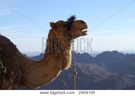 Sinai Camel