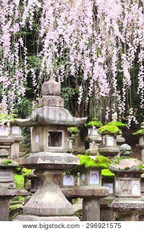 Old stone japanese lanterns and branch of the blossoming sakura at Kasuga Grand Shrine (Kasuga-Taisha Shrine), Nara Japan. UNESCO world heritage site