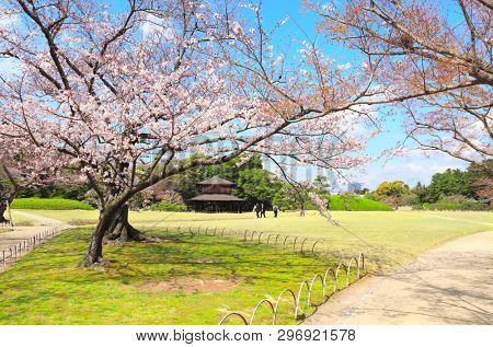 Blossoming sakura in Koishikawa Korakuen garden, Okayama, Japan