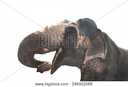 Close-up head of elephant (Elephas maximus). Isolated on white background
