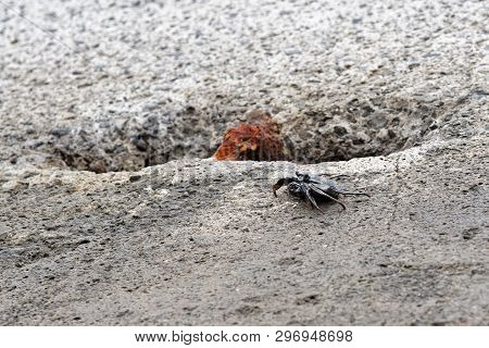 Single Black Crab On A Cement Block. This Photo Is Taken On Madeira, Portugal