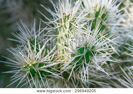 Close-up Of Cactus Branches With Long White Needles. Teddy Bear Cholla Cactus - Cylindropuntia Bigel