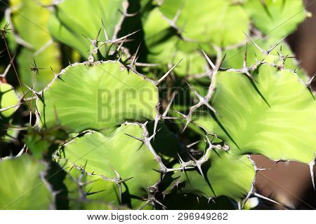 Close-up Of Euphorbia Grandicornis Cactus Plant, Or So Called Cowhorn