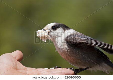 Hand Fed Gray Jay