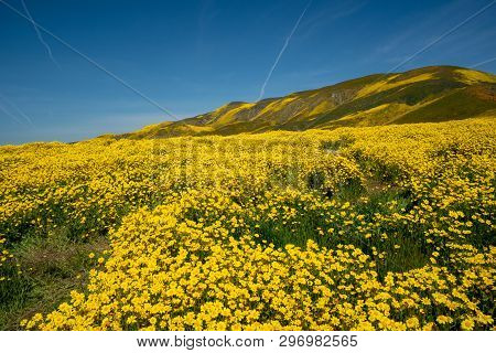 Hillside Daisies As Far As The Eye Can See At Carrizo Plain National Monument During A Superbloom