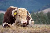 A high country Hereford bull resting in a paddock. poster