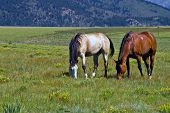 Western American Horses graze openly in rural Colorado where the west is still alive poster