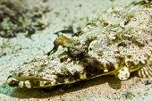 indean ocean crocodilefish (papilloculiceps longiceps) taken at sofitel house reef poster