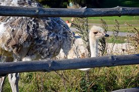 Ostrich Being Behind A Fence In The Grass Looking At The Environment