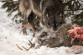 Black-phase Grey Wolf (canis Lupus) Eyes Over Deer Carcass Winter - Captive Animal