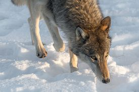 Grey Wolf (canis Lupus) Walks Forward Winter - Captive Animal