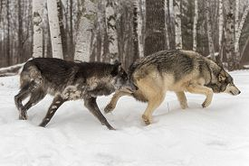 Two Grey Wolves (canis Lupus) Slulk Right Winter - Captive Animals