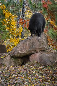 Black Bear (ursus Americanus) Nose Down Atop Rock Autumn - Captive Animal