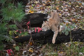Bobcat (lynx Rufus) Draped Over Log Autumn - Captive Animal